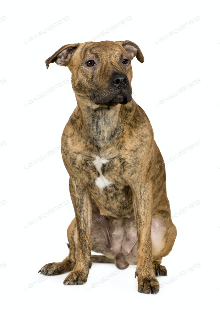 American Staffordshire terrier (9 months)