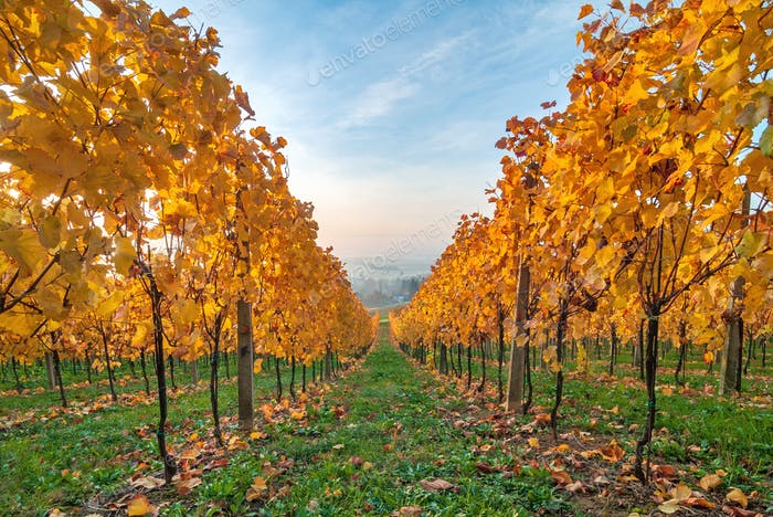 Beautiful yellow coloured leaves in autumn vineyard