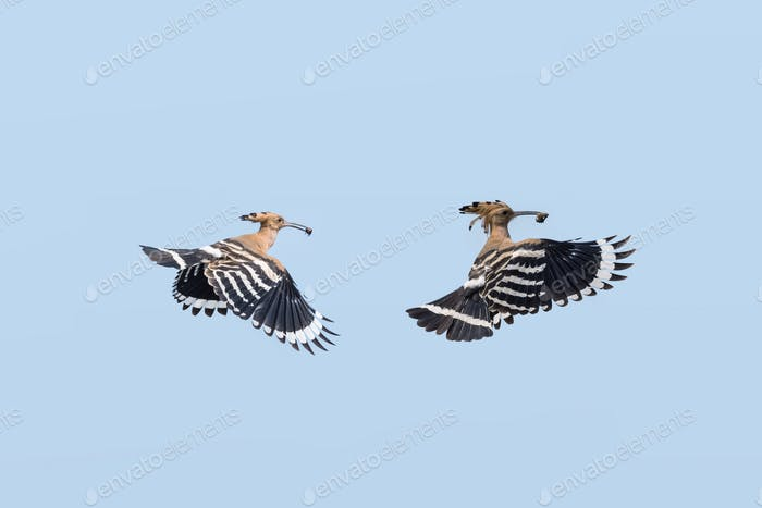 Eurasian Hoopoe in flight