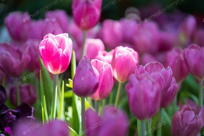 Purple tulips in the garden-9