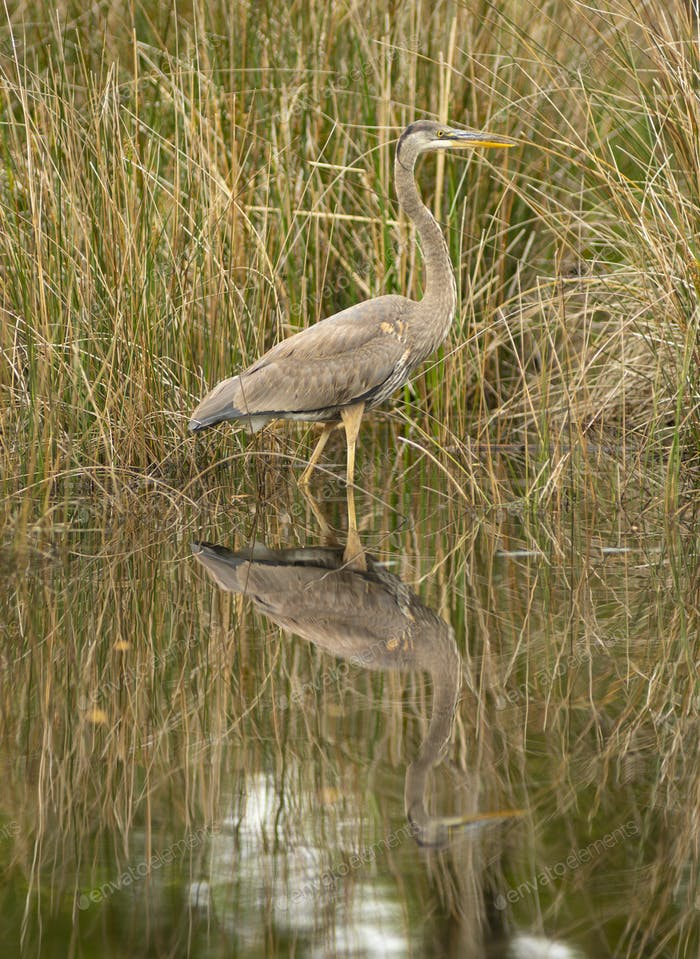 Blue Heron Wading in Water at Alligator River Refuge