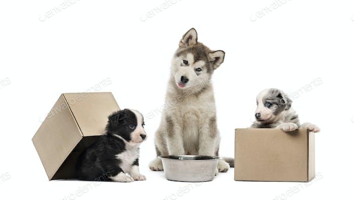 Alaskan Malamute puppy, Crossbreed puppies