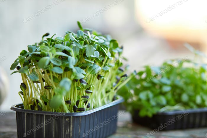 Close up of basil sunflower in the box, sprouting microgreens