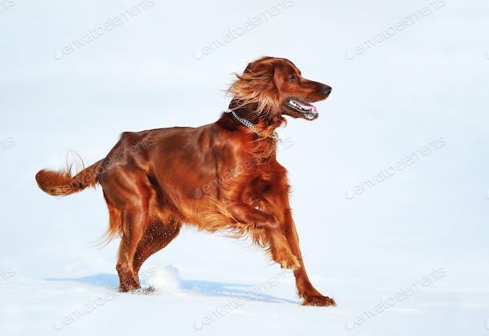 Dog breed Irish Red Setter.