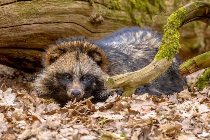 Raccoon dog resting