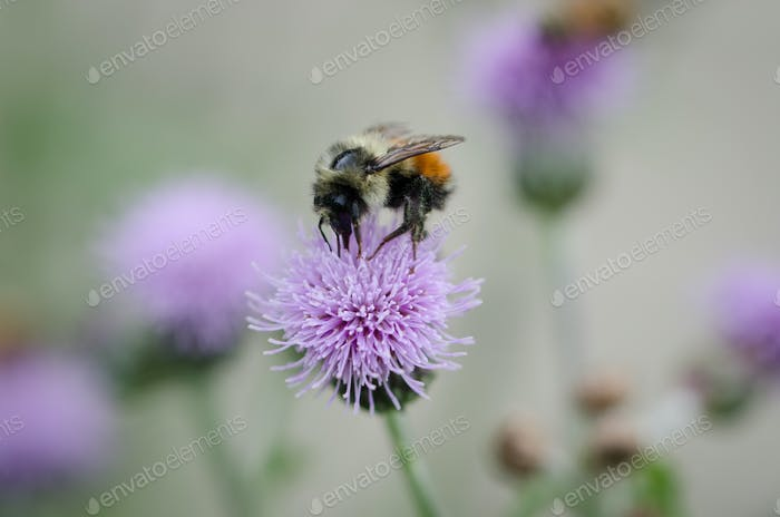 Bee feeding on a thistle