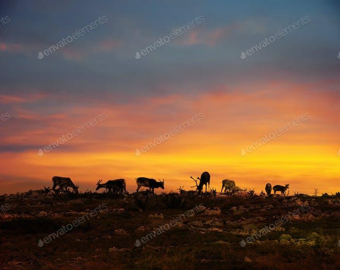 Reindeers in Lapland midnight sun