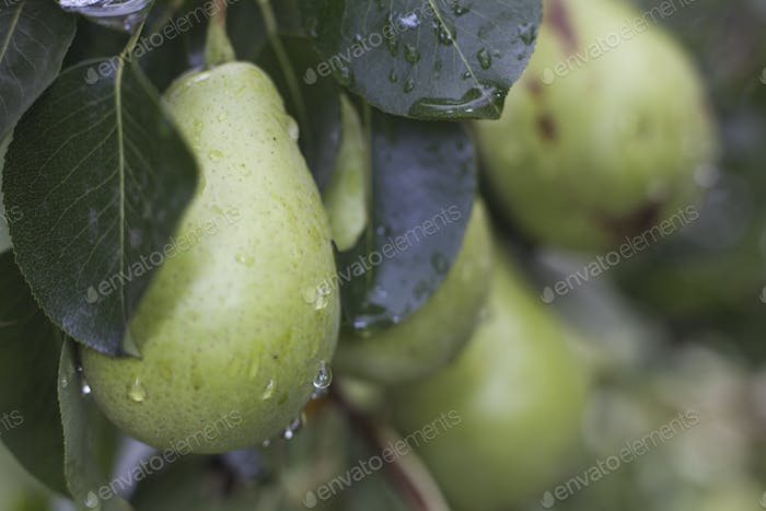 Drops on Pear