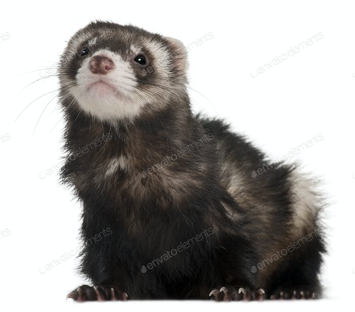 Ferret, 2 years old, in front of white background