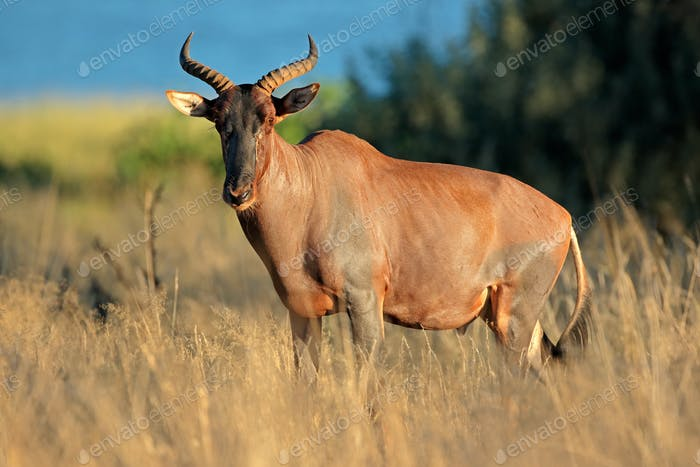 Tsessebe in natural habitat