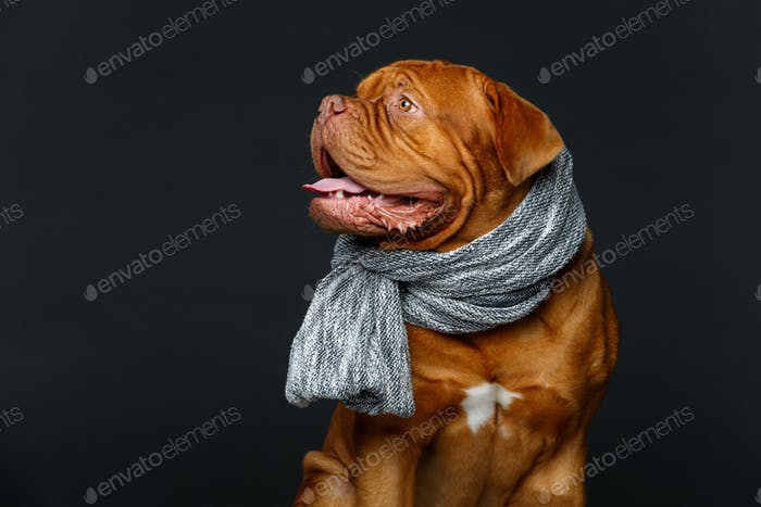 beautiful bordeaux dogue dog in scarf
