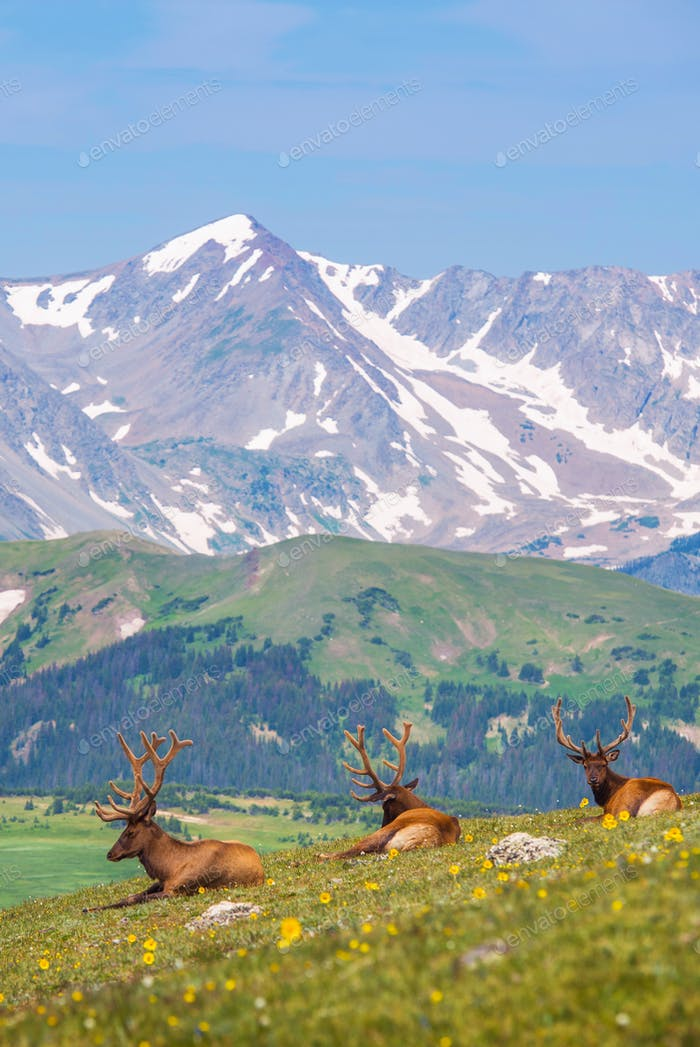 Summer Meadow with Elks