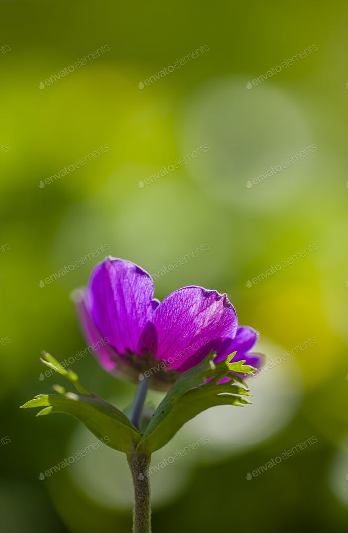 Lila Anemone Blume