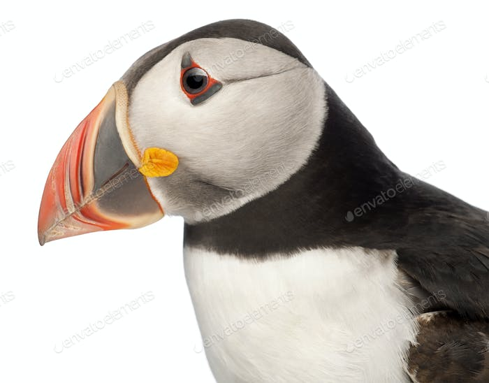 Close-up of Atlantic Puffin or Common Puffin, Fratercula arctica, in front of white background
