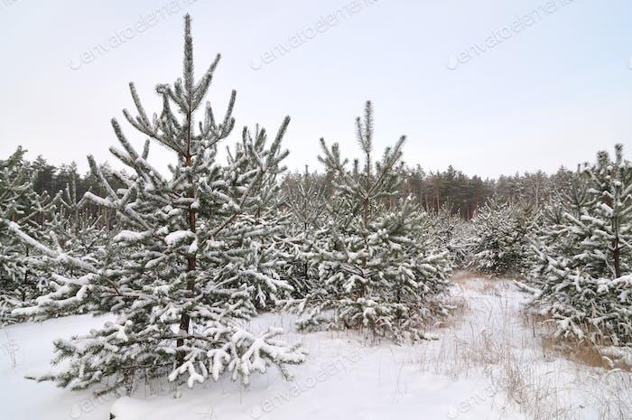 Молодые снежные елки растут в лесу