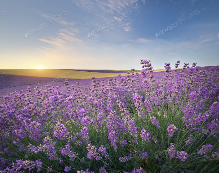Meadow of lavender at sunrise.