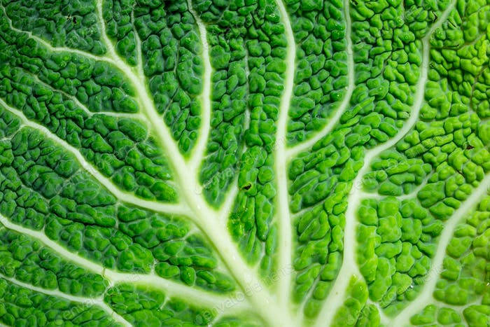 Fresh cabbage leave.