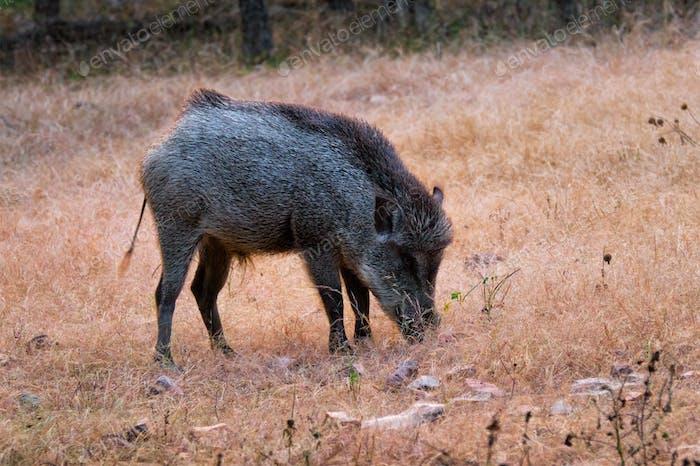 Indisches Wildschwein Weiden im Ranthambore National Park, Rajasthan, Indien