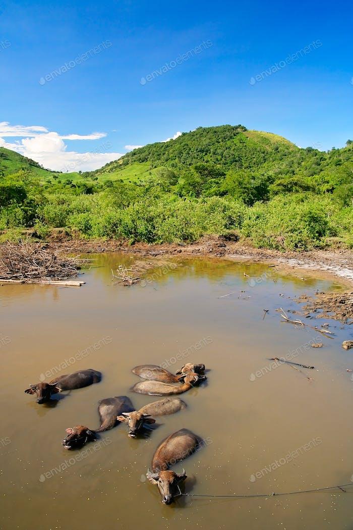 Water buffaloes having bath