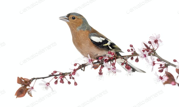 Common Chaffinch perched on branch, singing, isolated on white - Fringilla coelebs