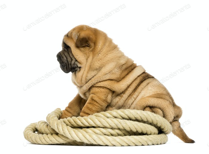Shar pei puppy (11 weeks old) sitting on rope - isolated on white