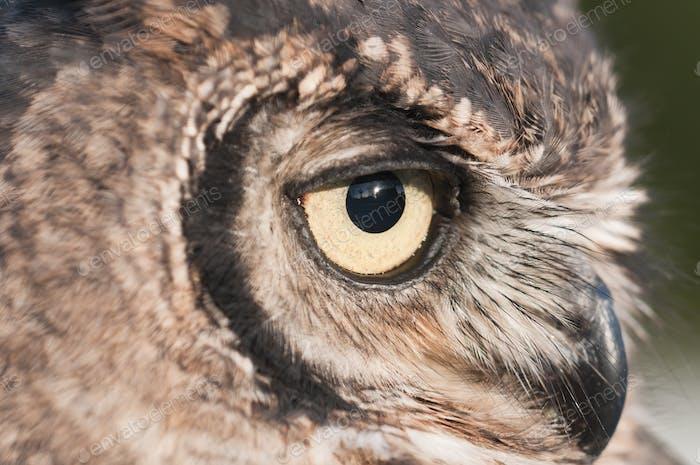 American Owl