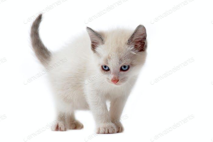 white siamese kitten