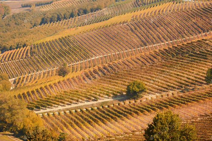 Vineyards in autumn with brown leaves and trees in a sunny day