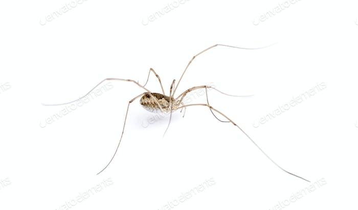 Opiliones spider in front of white background, studio shot