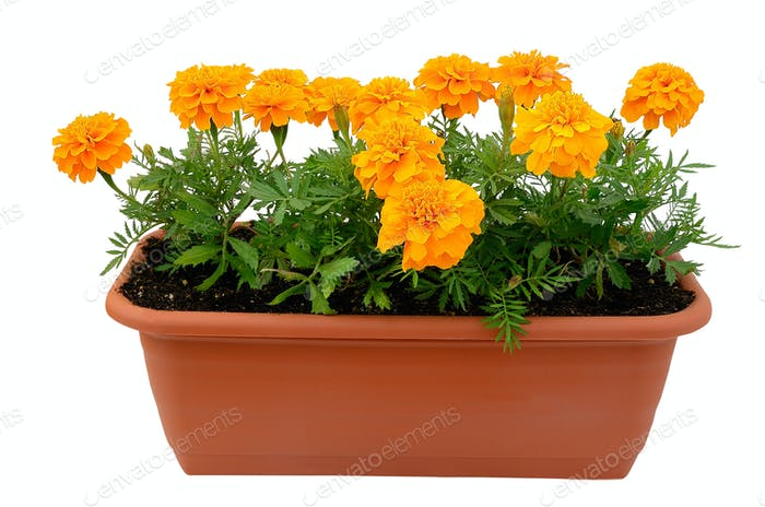 Tagetes flower
