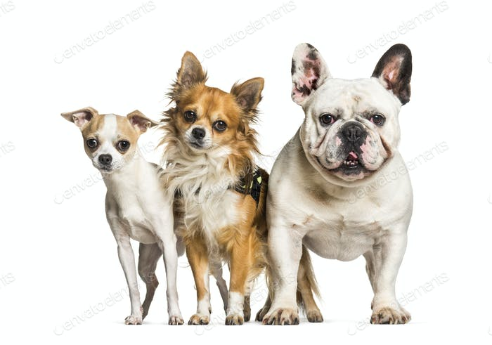Chihuahuas and French bulldog standing against white background