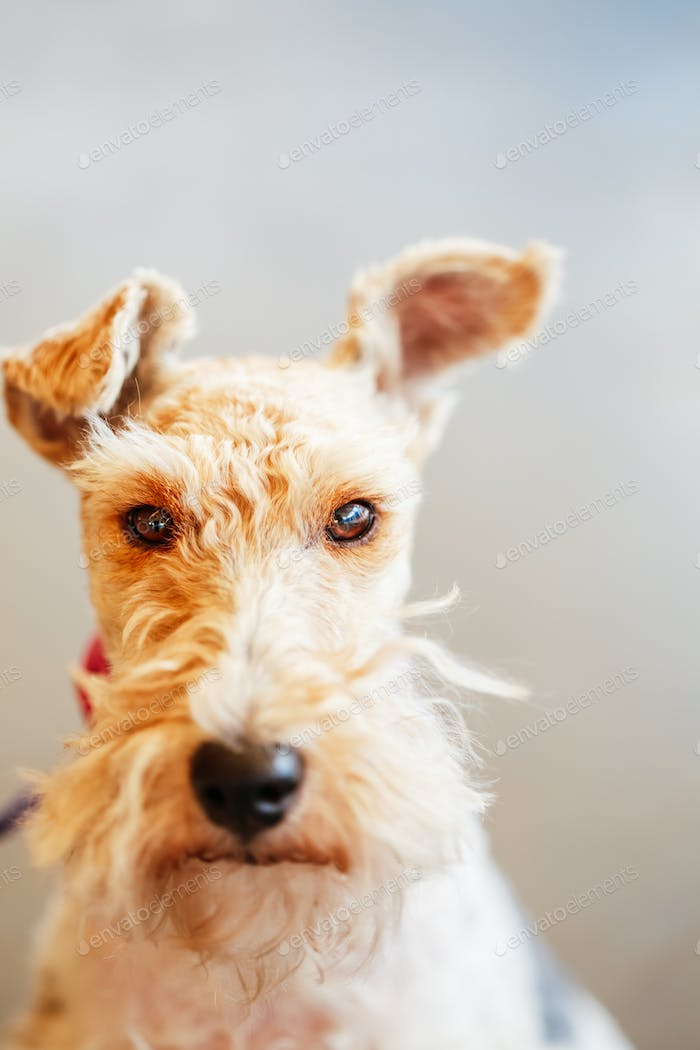 Wire Fox Terrier Close Up Portrait