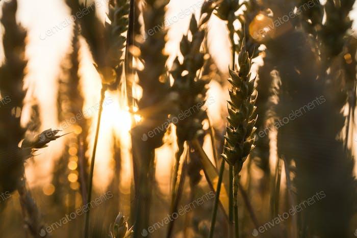 Hintergrund der reifen Ohren von gelben Weizenfeld auf dem Sonnenuntergang bewölkt orange Himmel Hintergrund