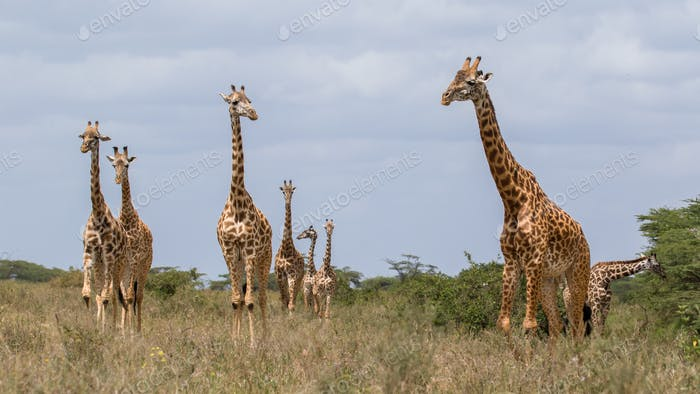 Thumbnail for giraffe in the african national park