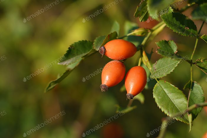 Rose hips on bush close-up