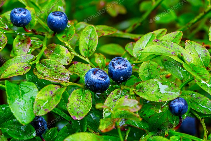Ripe blueberry berries and water drops