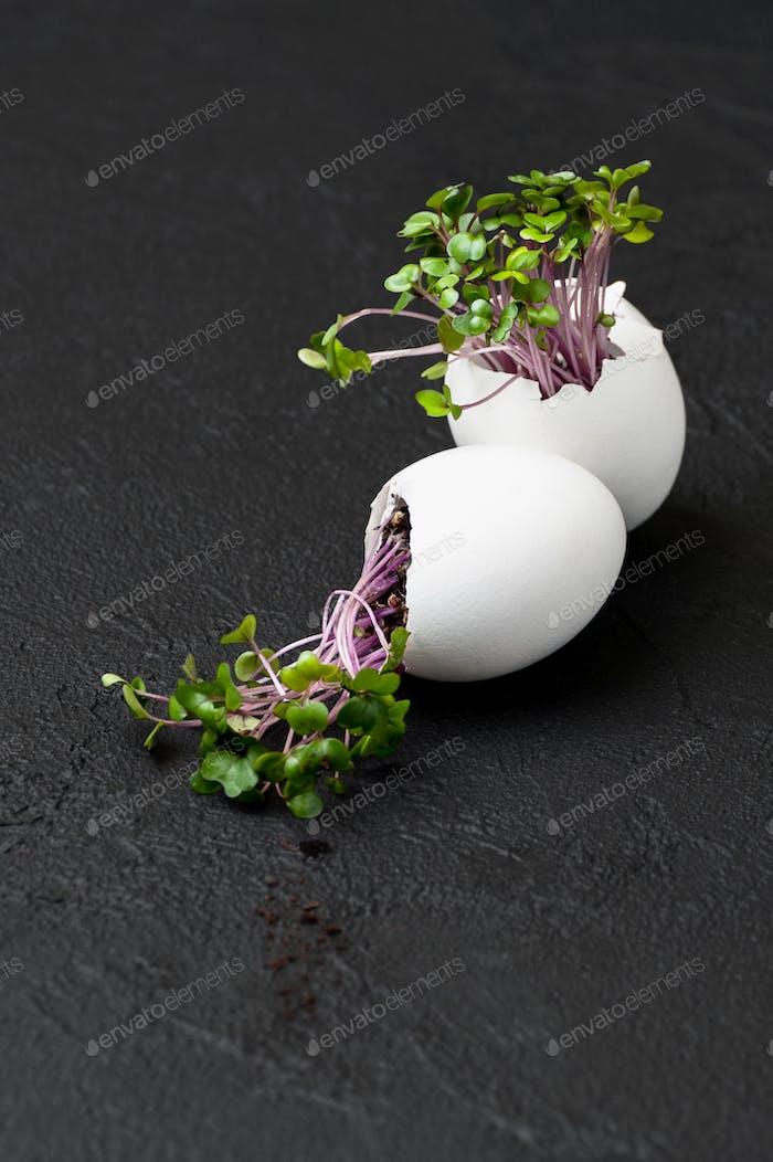 Sprossen Kress-Salat in der Eierschale auf einem schwarzen Hintergrund.