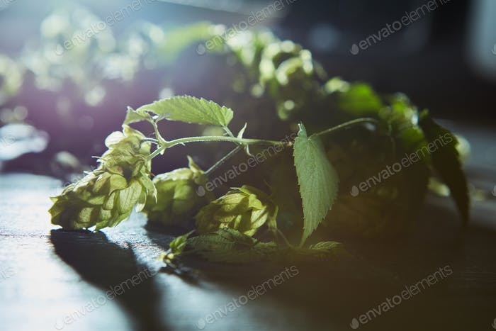 Fresh branches and cones of green hop