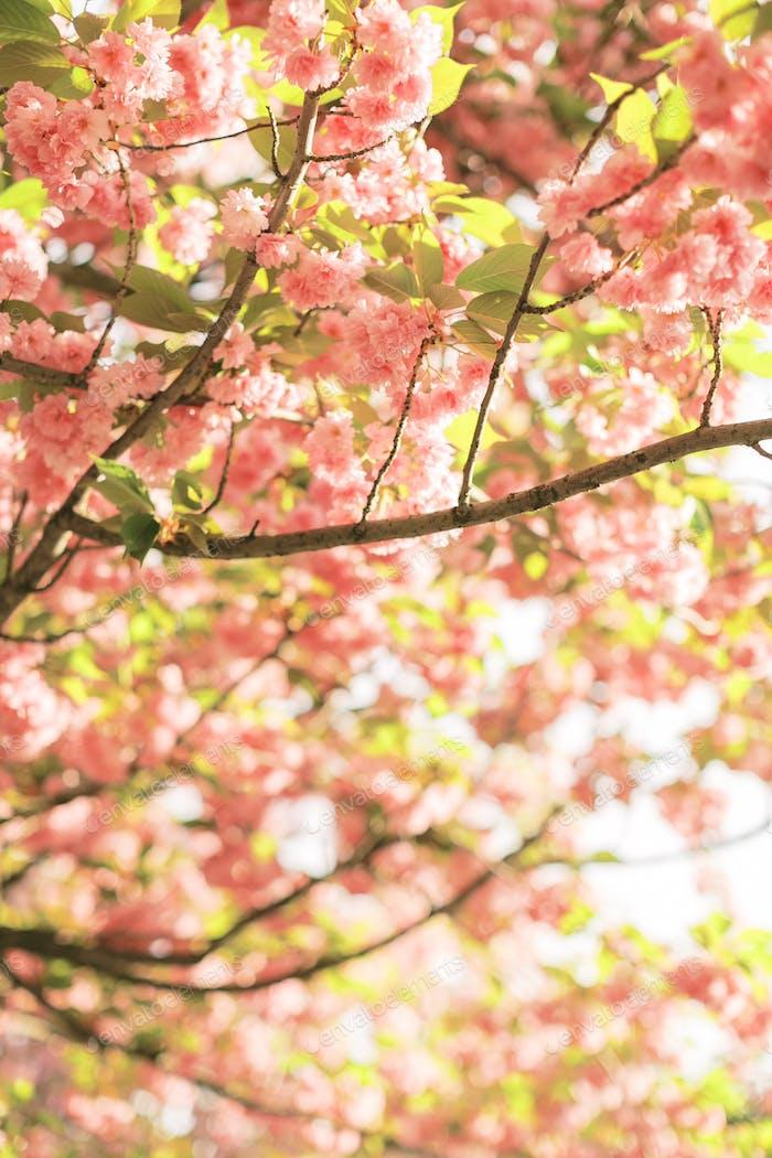 Warm and Sunny Spring in Paris. Blossoming Sakura Parisian building. Cherry blossom
