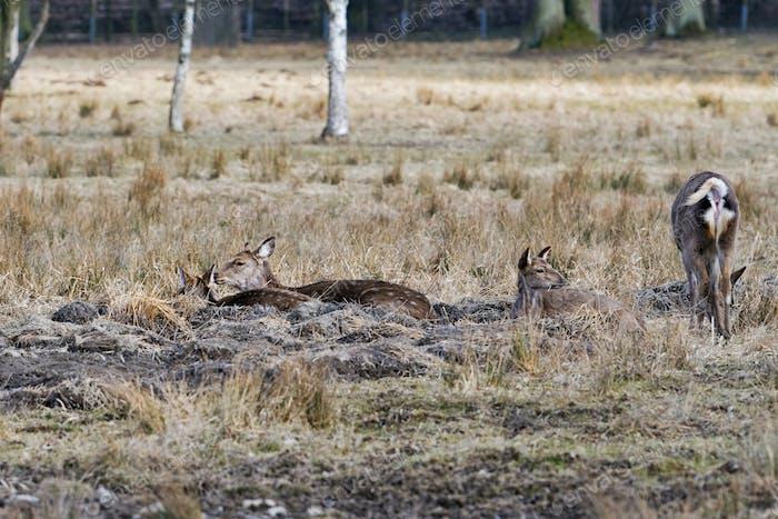 Sika deer, (Cervus nippon), females