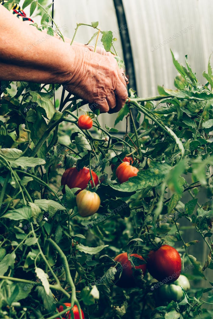 Cherry tomatoes growing in a vegetable garden