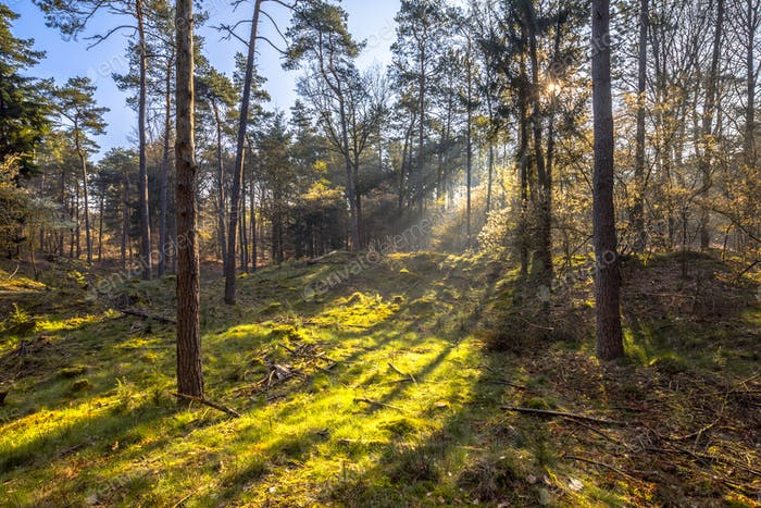 Sun shining through forest trees on early morning