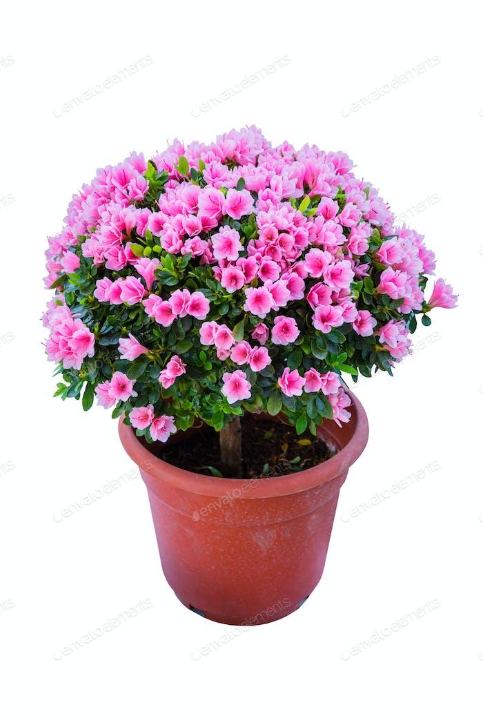 Rhododendron Hybrida Bonsai