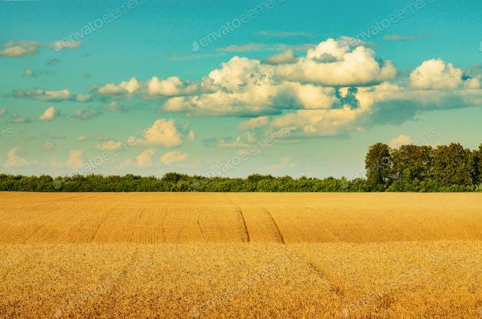 Reif bereit für die Ernte Weizenfeld unter bewölkt blauen Himmel Sommer