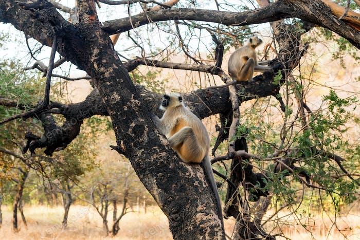 Gray langurs or Hanuman langurs on tree