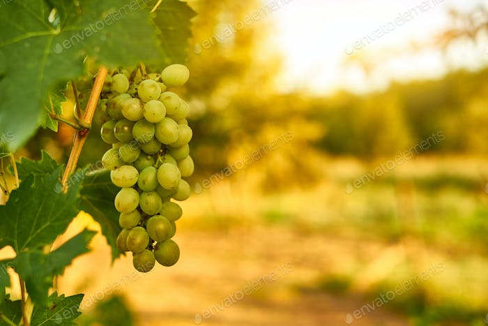 White ripe grape clusters