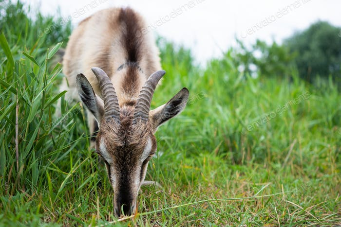 Smoke goat with horns eating grass in pasture
