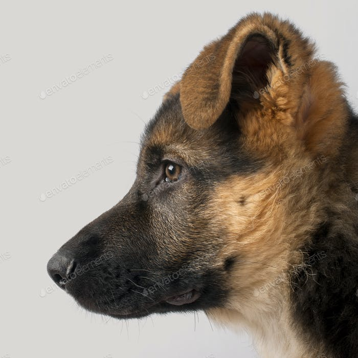 Close-up profile of German Shepherd puppy, 3 months old, in front of grey background