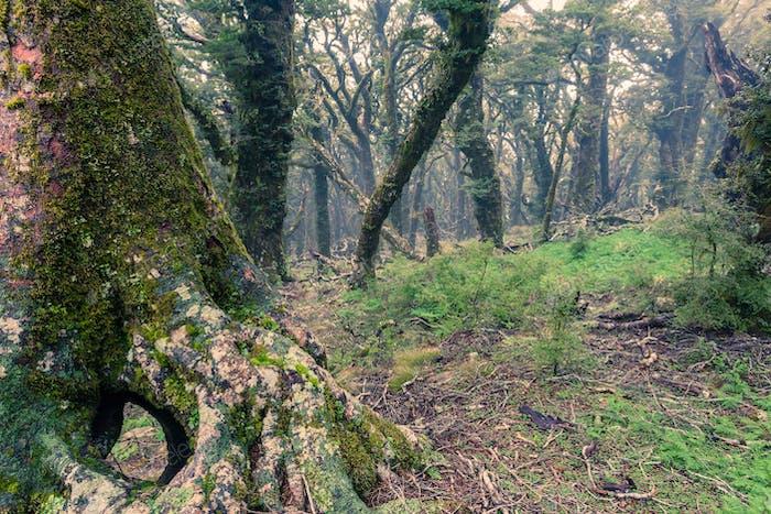 Geisterhaft jungfräulicher Berg Regenwald Marlborough NZ