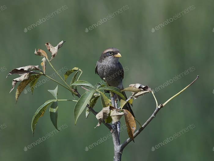 Yellow-billed shrike (Corvinella corvina)